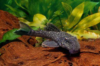 Plecostomus looks like our lil guy aquarium life for Cat proof fish tank