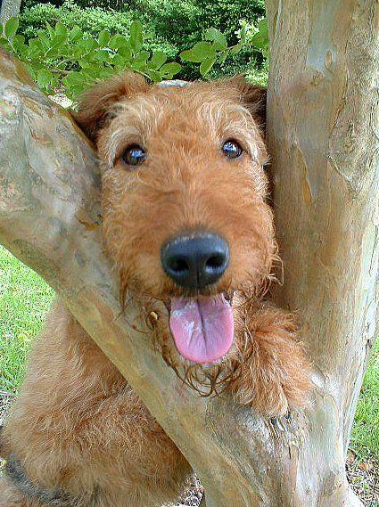 Resultado de imagen para Welsh Terrier 犬 テレビを見る
