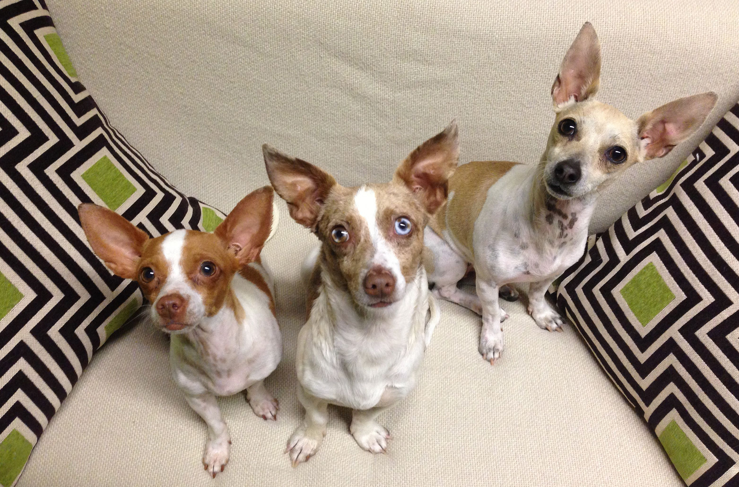 WATCH Abandoned Chihuahuas Rescued In Inspiring Video