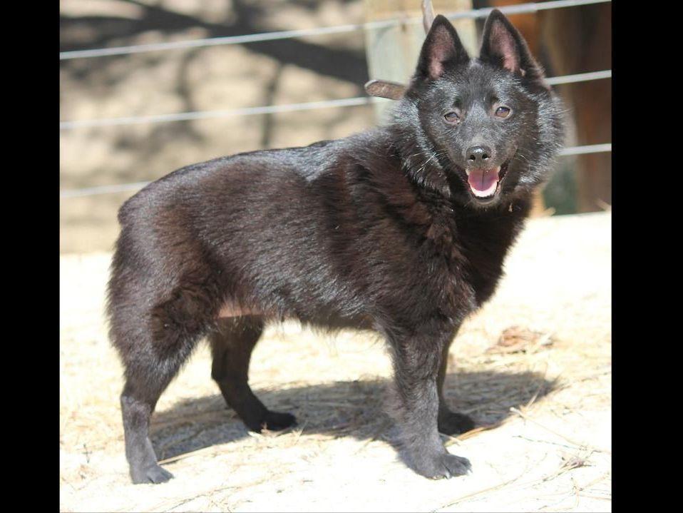 Deborah Kunic Has Schipperke Puppies For Sale In San Miguel Ca On