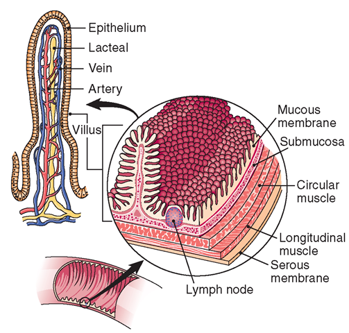 pin on anatomy \u0026 physiology Diagram Of Villus villi with two function of lacteal