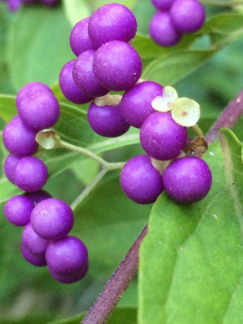 pretty backyard berries great plants and flowers pinterest