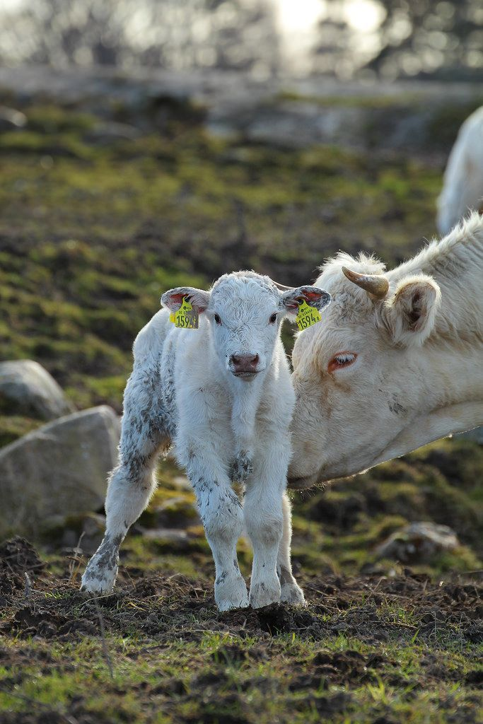 Pin by Claire on barnyard / cattle Animals, Cute animals
