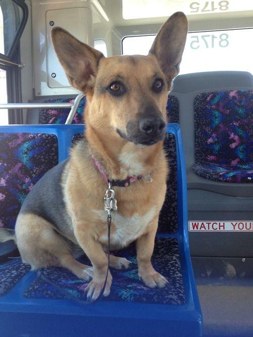 My Basset Hound German Shepherd Cross Taking The Bus With Me