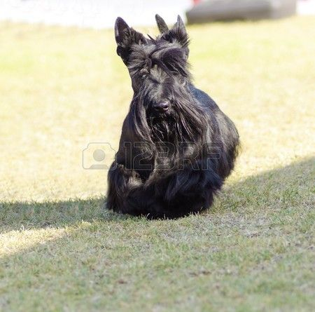 A view of a small young and beautiful Scottish Terrier dog walking on the grass Scottie dogs are com Stock Photo