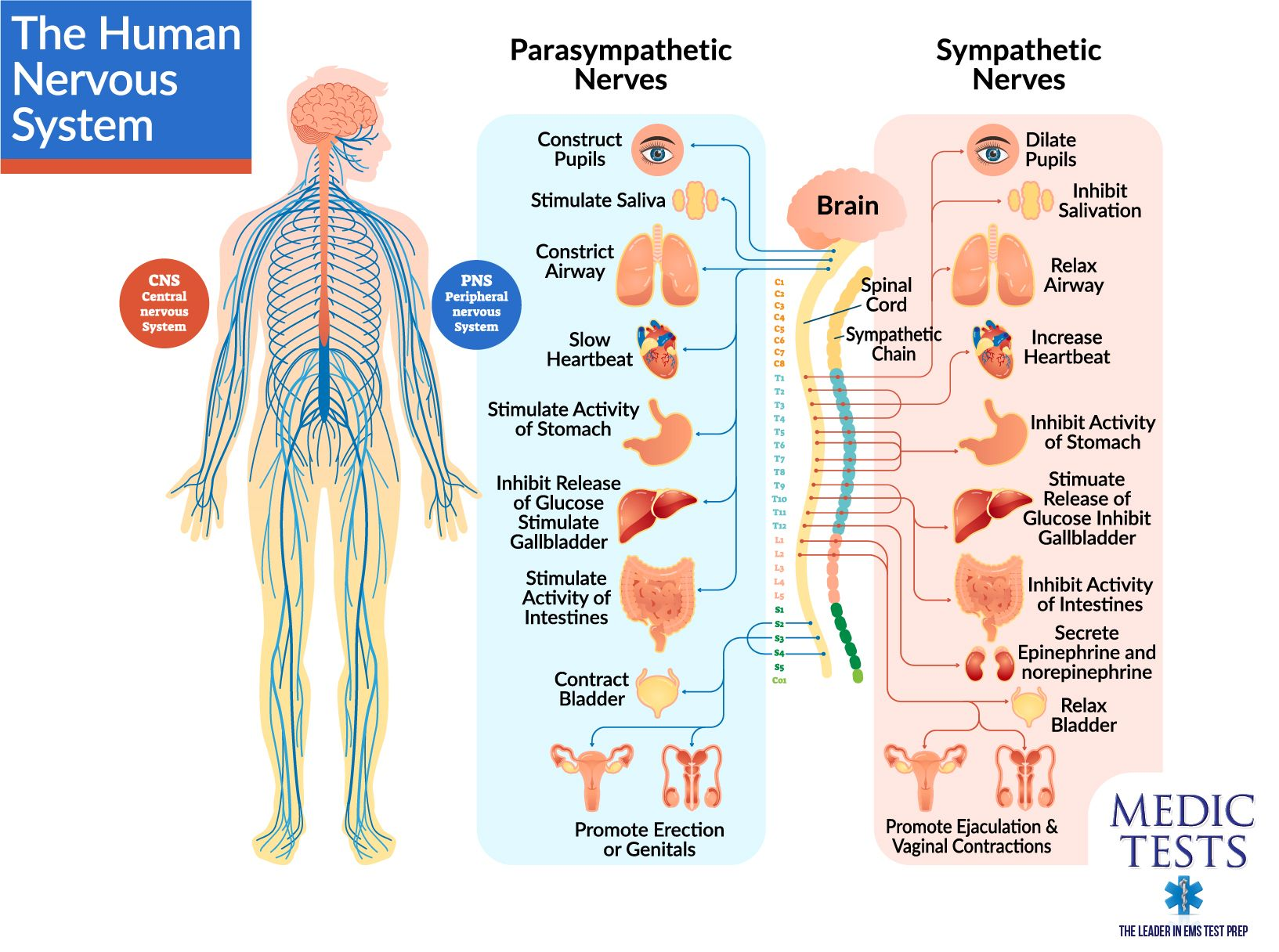 The Brain And The Spinal Cord Are The Two Major Parts Of The Central Nervous System Or Cns The C Nervous System Diagram Nervous System Central Nervous System