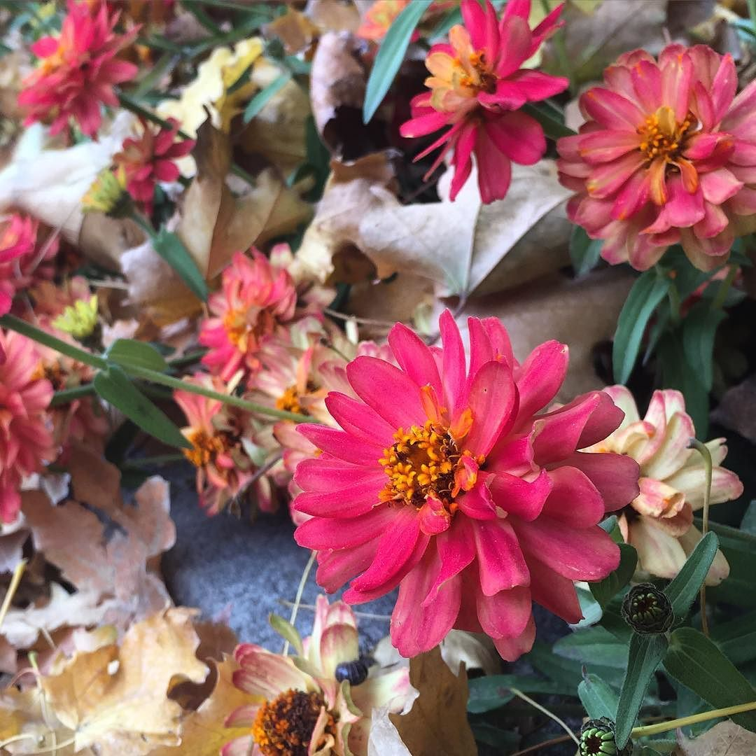 Zinnias And Leaves Fall Is Awesome Fall Autumn October