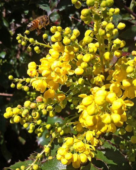 Oregon grape mahonia aquifolium shade shrub with holly like oregon grape mahonia aquifolium shade shrub with holly like leathery leaves in various colors yellow flowers in sp drought tolerant front yards mightylinksfo