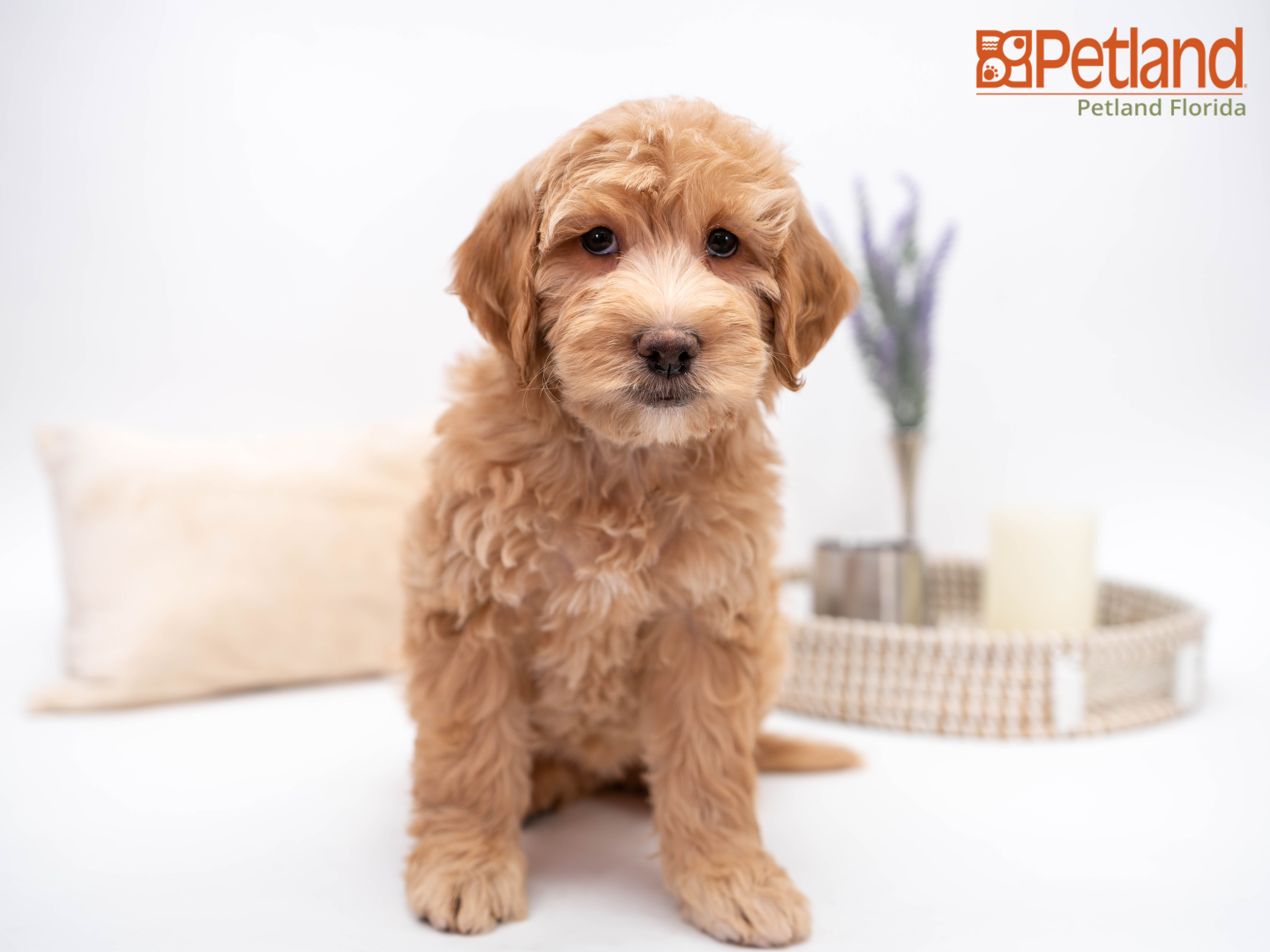 Puppies For Sale in 2020 (With images) Mini goldendoodle