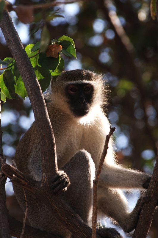 Vervet #monkey. Photo by: Mohamed Hashim