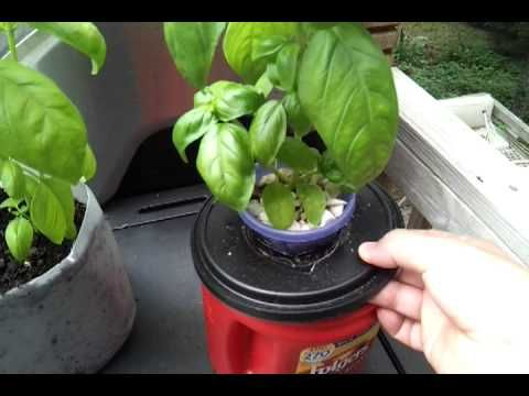 Kratky Method Hydroponic Herbs Growing Without Power Or Soil