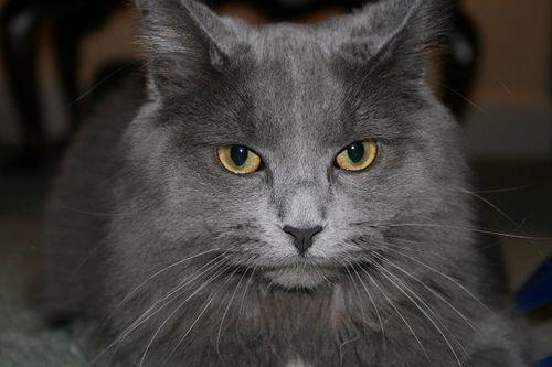 Pin By Susan Richards On Nebelung Nebelung Cat Nebelung Cat Breeds