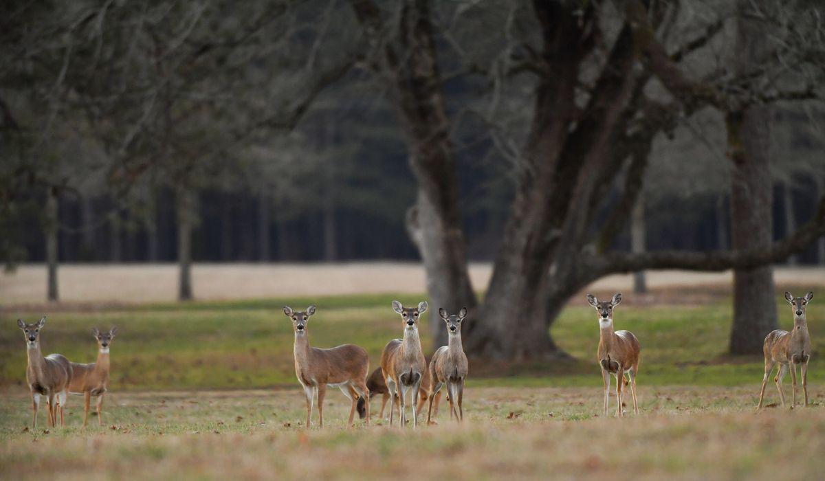 Deer gathering on campus photo by brant sanderlin