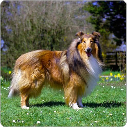 Desperately Looking For A Rough Collie Preferably Still Puppy