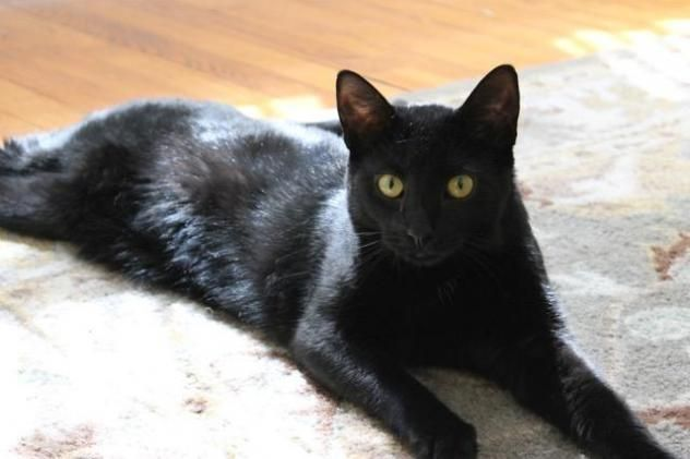 Onyx Loves To Play And Purr Dog Alike Cat Domestic Short Hair Bombay Mix Young Male Cats Beautiful Cats Feline