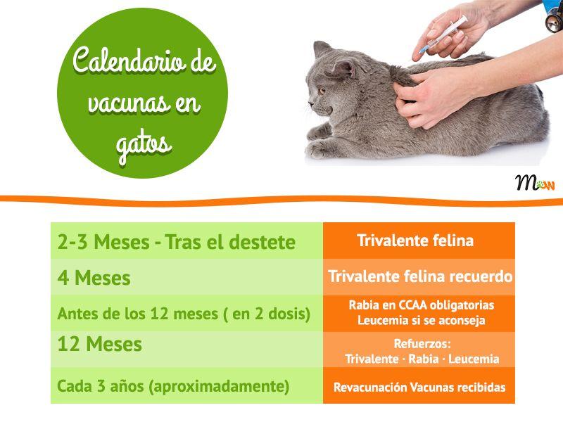 Vacunas Gatos Calendario.Las Vacunas Obligatorias En Gatos Animals And Pets Gatos