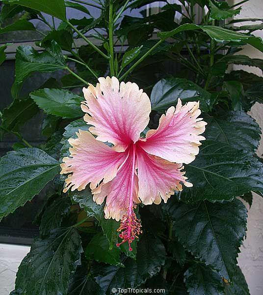 Image Result For Hibiscus Hawaiian Salmon Hibiscus Country Garden Design Country Gardening