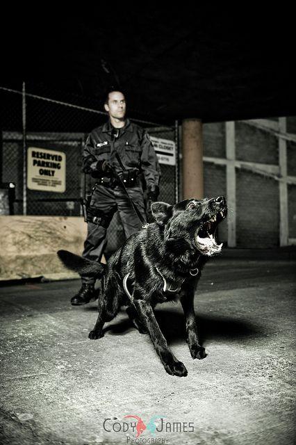 police K9 bite work - Google Search German Shepherds Pinterest - k9 officer sample resume