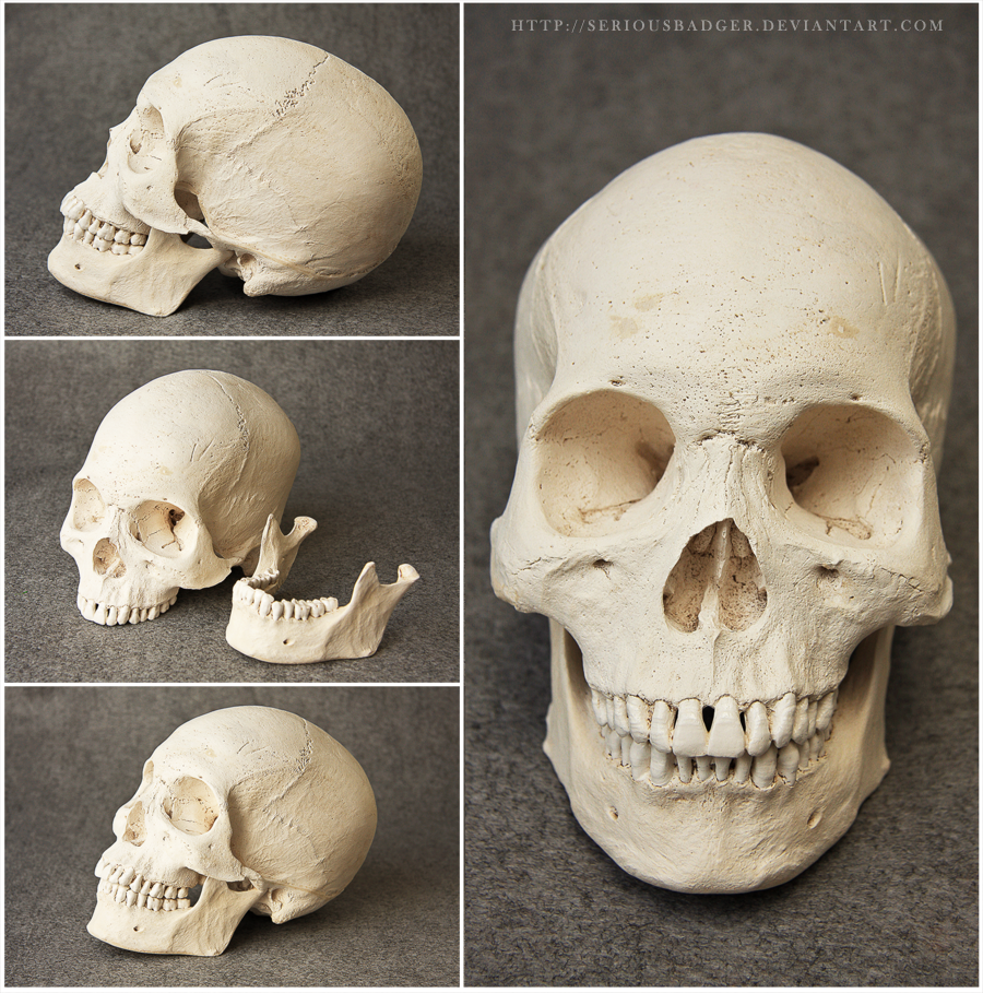 Human skull by seriousbadger   human anatomy   Pinterest