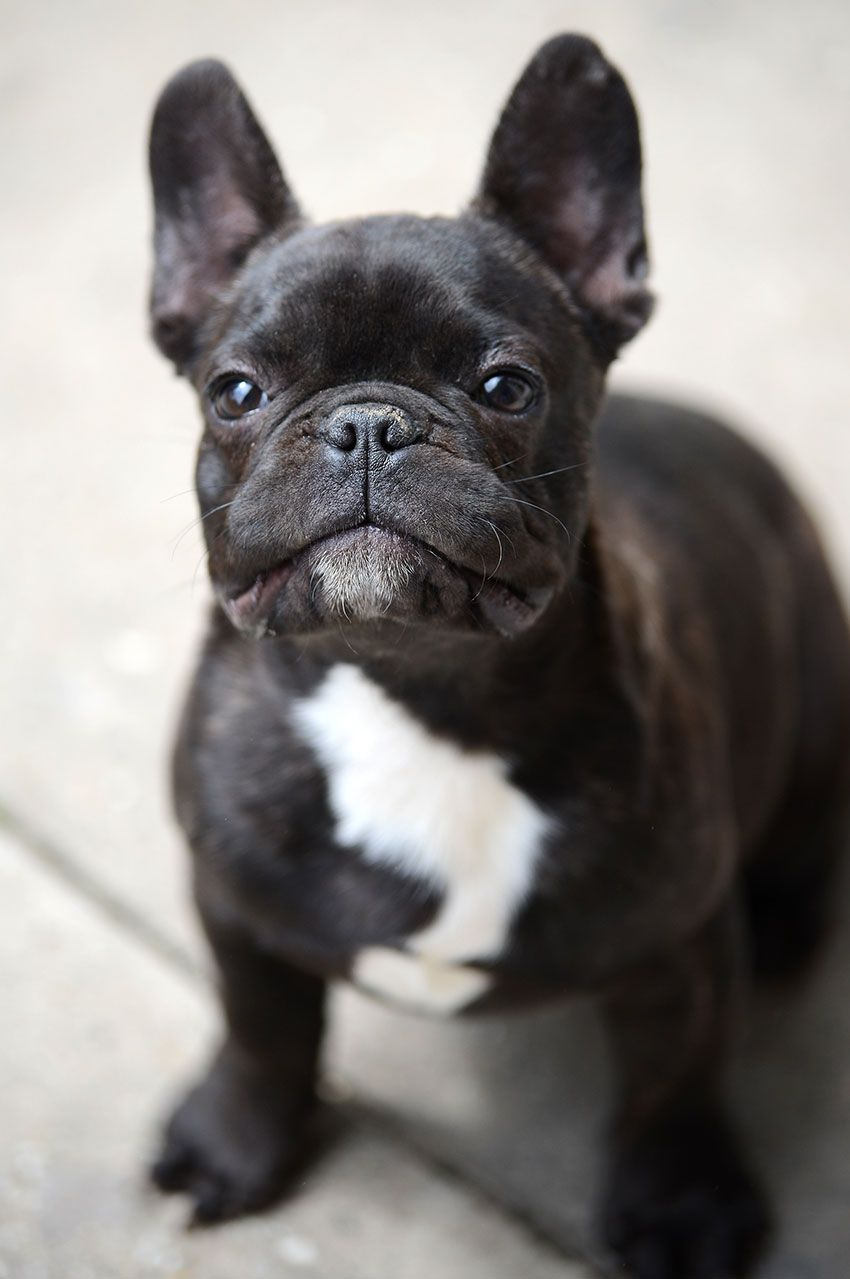 French Bulldog Breeding What It Really Looks Like French