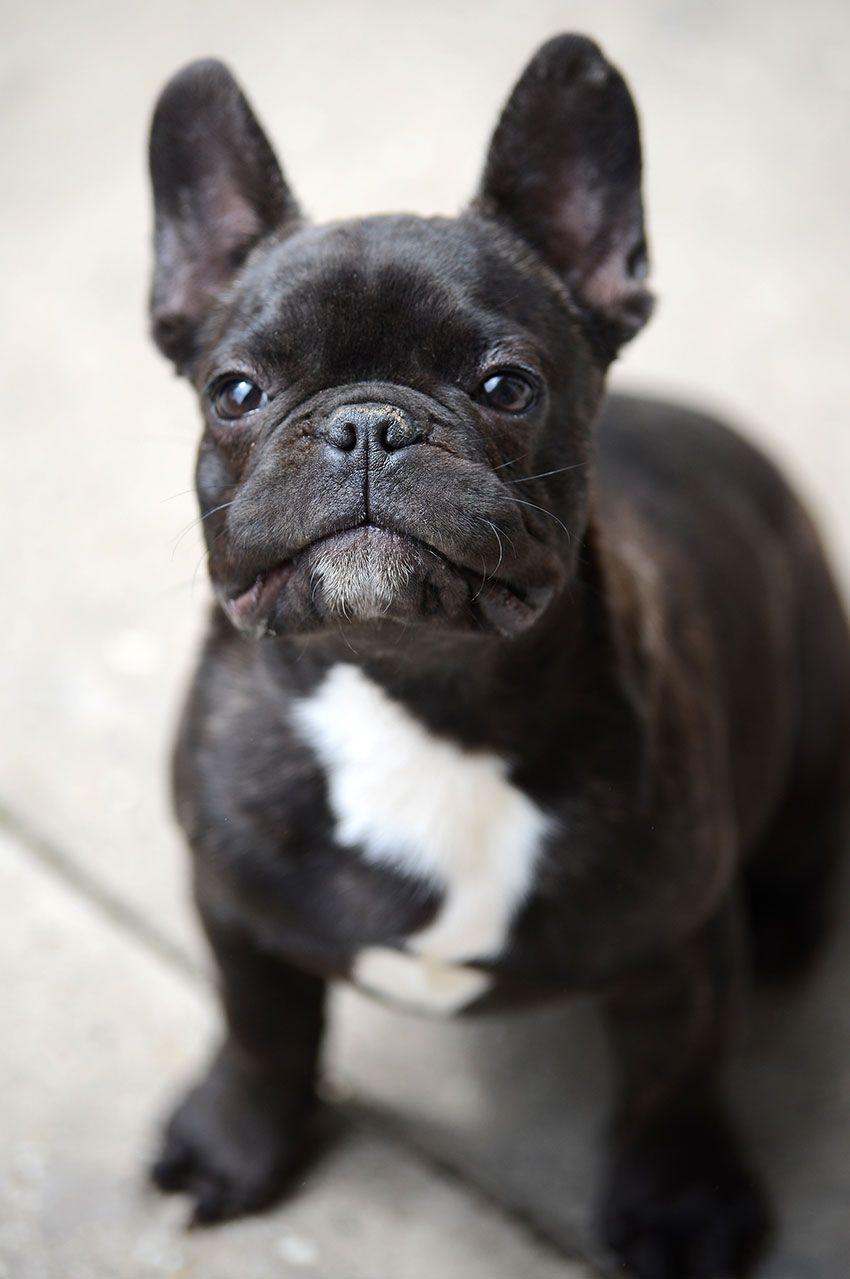 French Bulldog Breeding What It Really Looks Like Franse