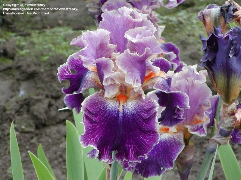 TB Iris germanica 'Entangled' (Ghio, 2000)