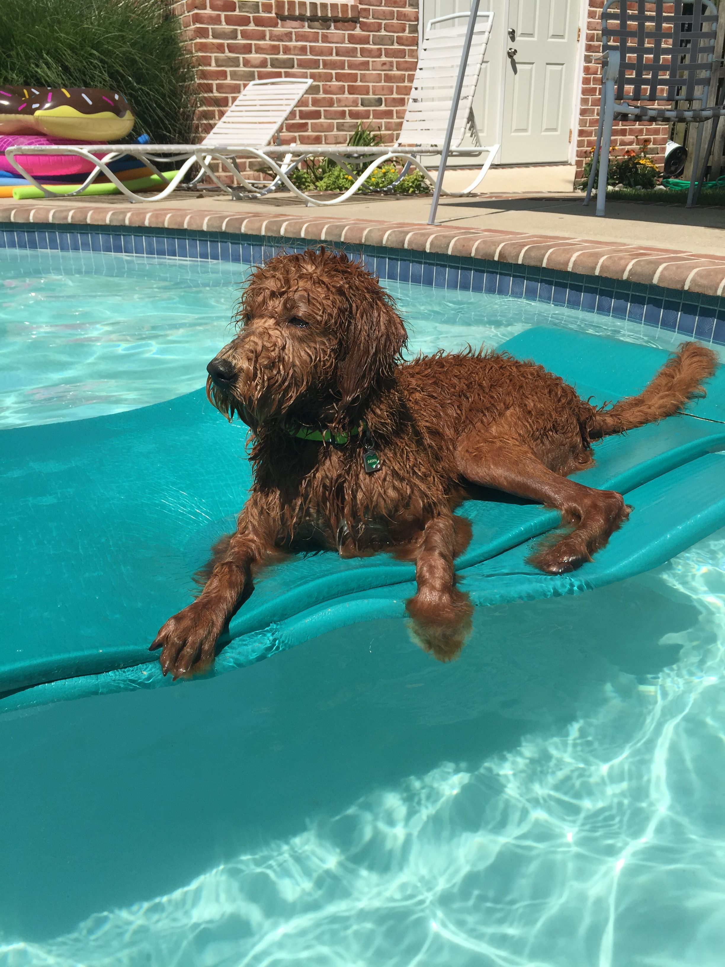 Labradoodle Puppies For Sale Asheville Nc References