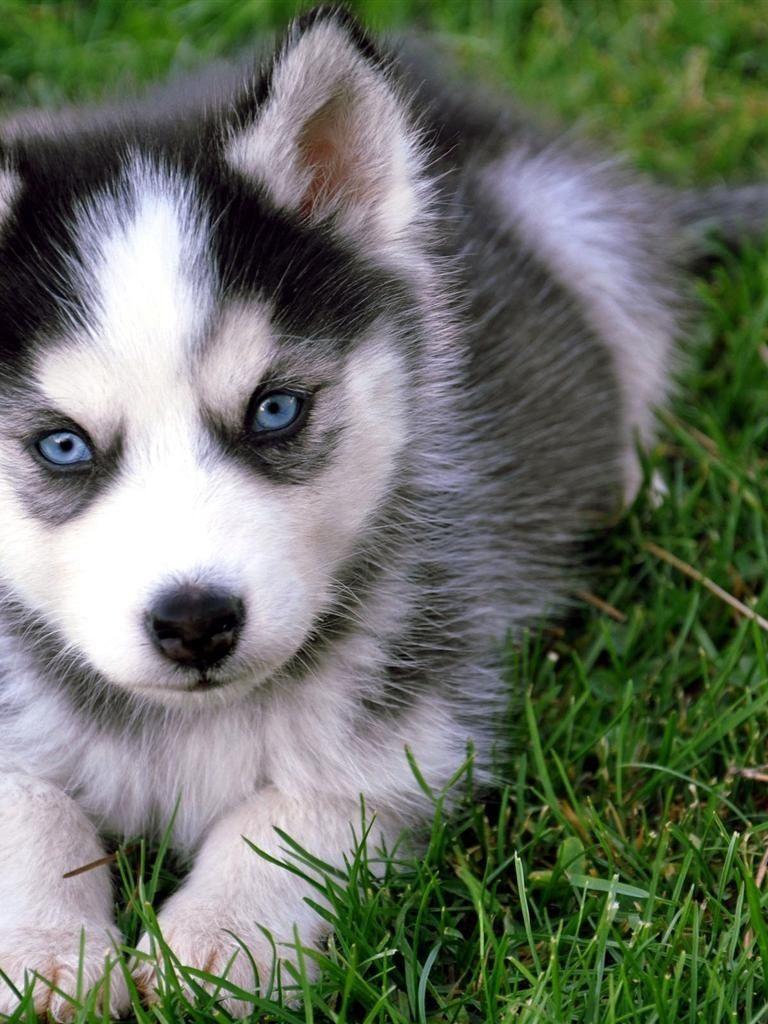 Blue eyed husky cute husky puppies pomsky puppies cute
