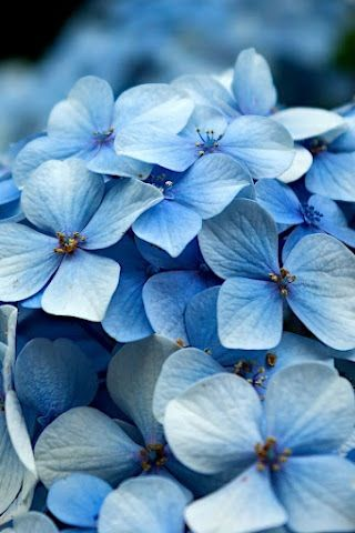 What Is Your Spirit Flower Hydrangea Picture Hydrangea Wallpaper Hydrangea Macrophylla