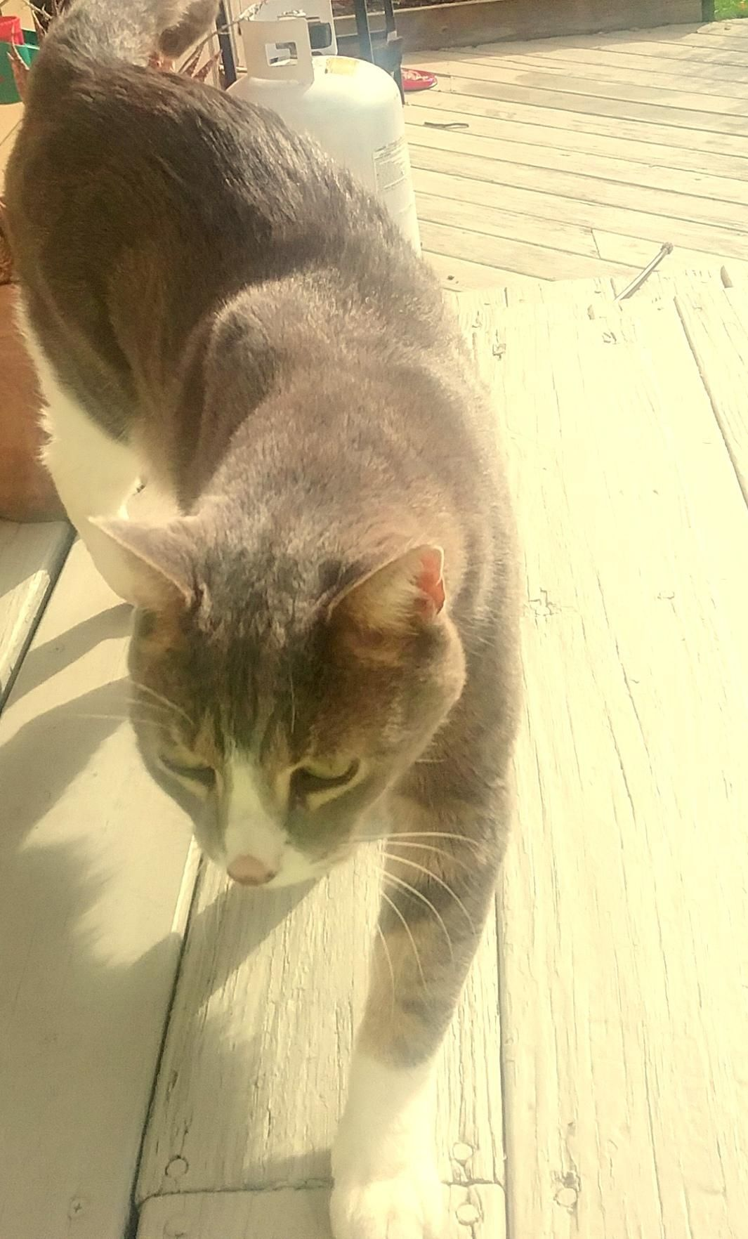 Grey And White Friendly Date Last Seen October 26 2016 Area Last Seen South Windsor Ct 06074 Address Last Seen Juniper Lane Sou Losing A Pet Pets Found Cat
