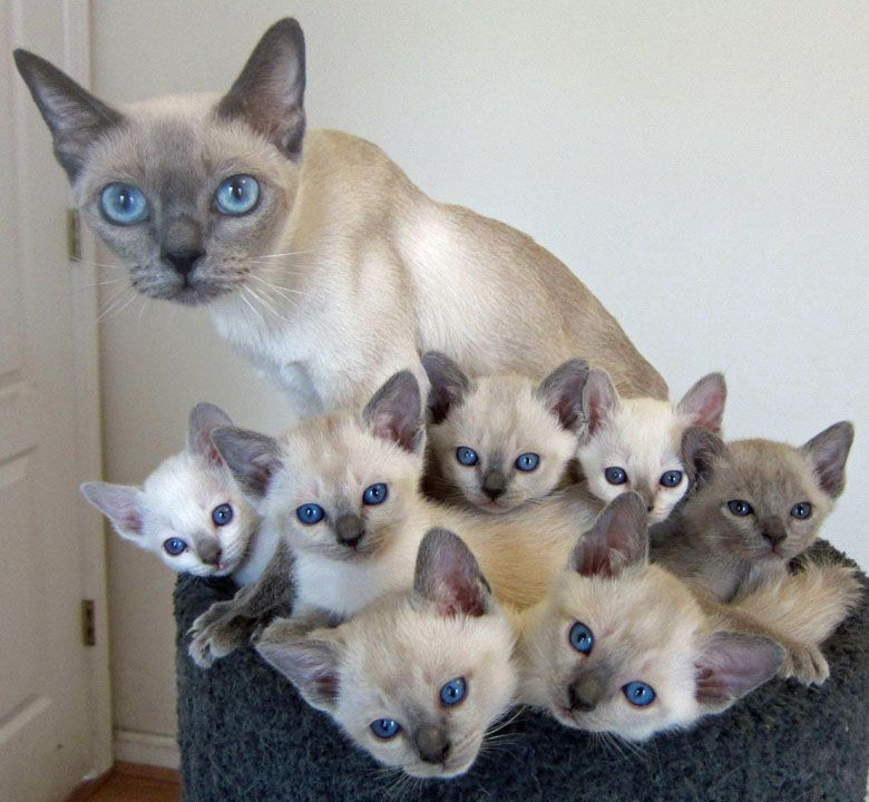 Siamese Momma Cat With Her Precious Kittens Aww So Sweet