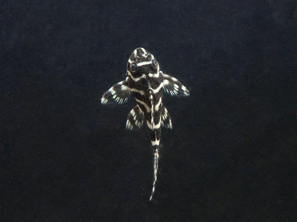L333 King Tiger Pleco Juvenile Hypancistrus Sp Tank Bred Plecostomus Catfish Aquatic Arts