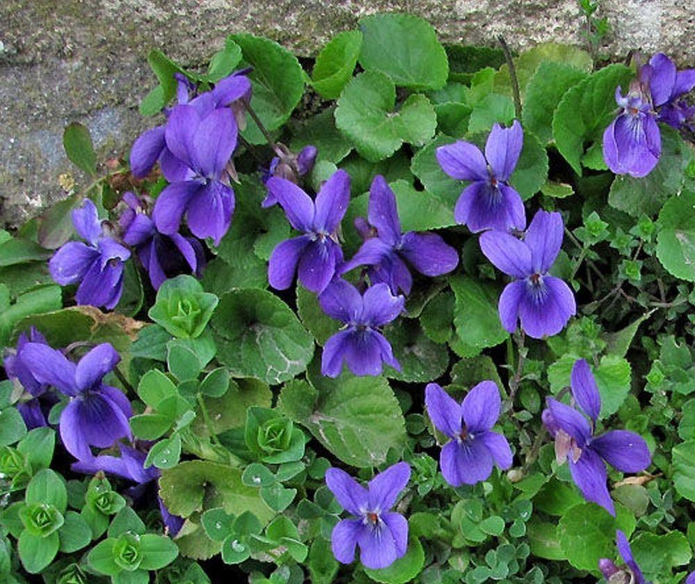 veilchen duftveilchen viola winterhart mehrj hrig 5 pflanzen osterveilchen lila veilchen. Black Bedroom Furniture Sets. Home Design Ideas