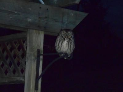 For the last two nights a small Owl has been banging into our back window of our house.    Tonight we got a picture of him.  Thank you for sending us your