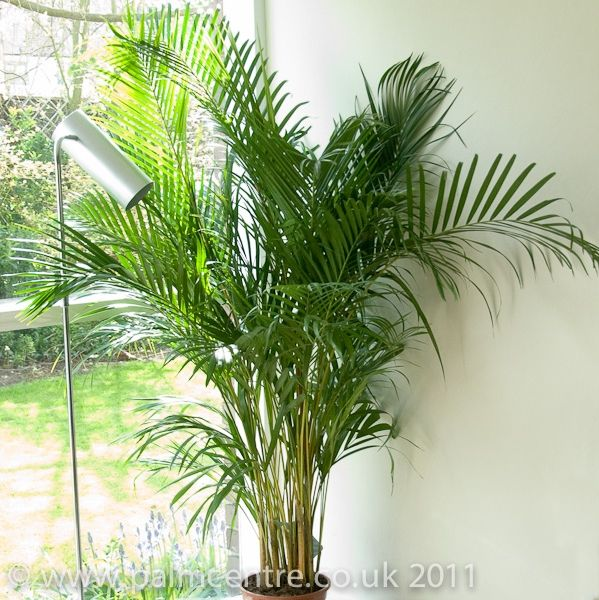Dypsis lutescens - Butterfly Palm Tree for sale From Palm Centre ...