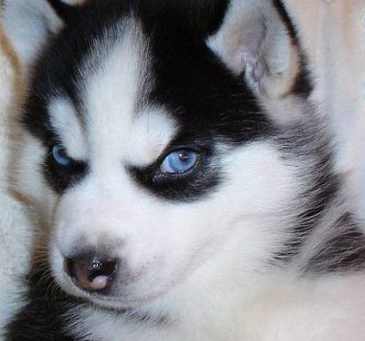 Black And White Siberian Husky With Blue Eyes Siberian Husky