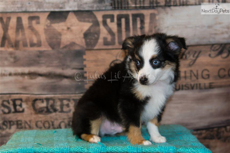 Zaffre Miniature Australian Shepherd Puppy For Sale Near Salt Lake City Utah Fc49dfbb C491 Australian Shepherd Miniature Australian Shepherd Puppies Working Dogs