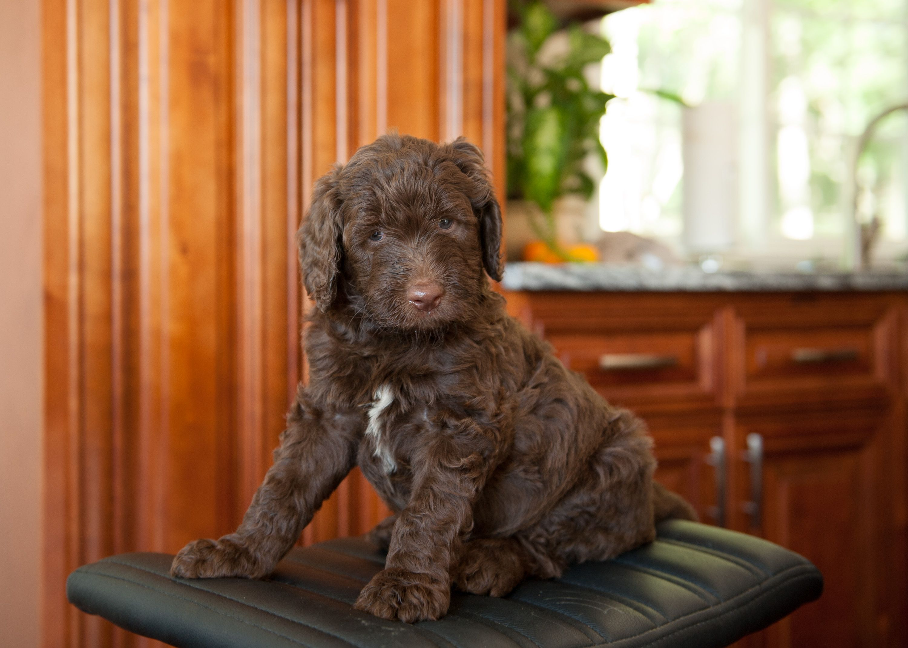Chocolate Labradoodle With White Chest Www Morganacresdoodles Com