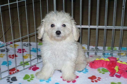 Cavapoo Puppies For Sale Cavapoo Puppies Puppies Cavapoo