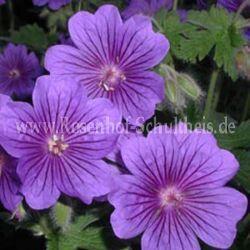 Blau Rosenbegleiter Pflanzen Rosen online kaufen im