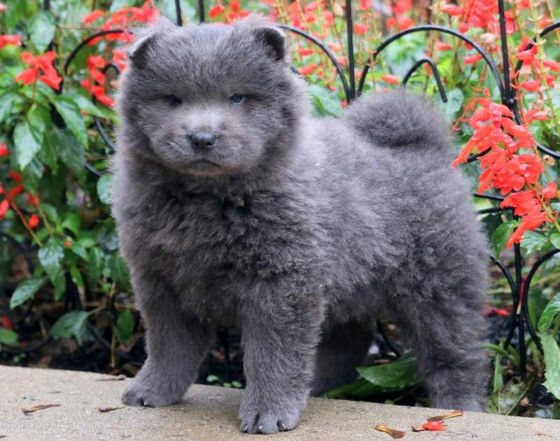 Twilight Chow Puppies For Sale Puppies For Sale Puppies