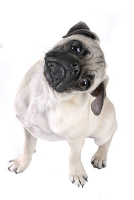 Cute Pug Tilts Head Questioning Hmmm Small Dog Pictures