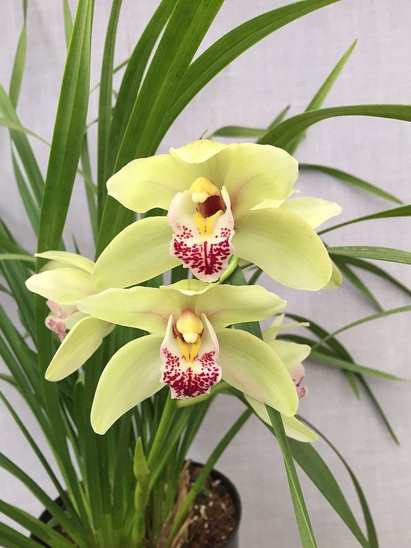 This Cymbidium Had Four Bloom Spikes This Year It S In A Northern Facing Window Now And It Has Been In Flower Since Orchids Cymbidium Orchids Blooming Plants