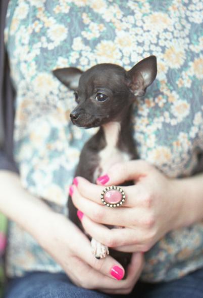 Disorganized72 Cute Chihuahua Chihuahua Puppies Chihuahua