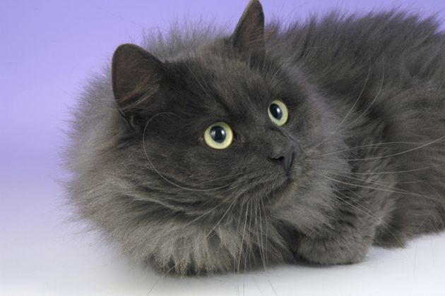 Love A Chatty Cat Meet Nine Talkative Cat Breeds Cat Breeds Siberian Cat Angora Cats