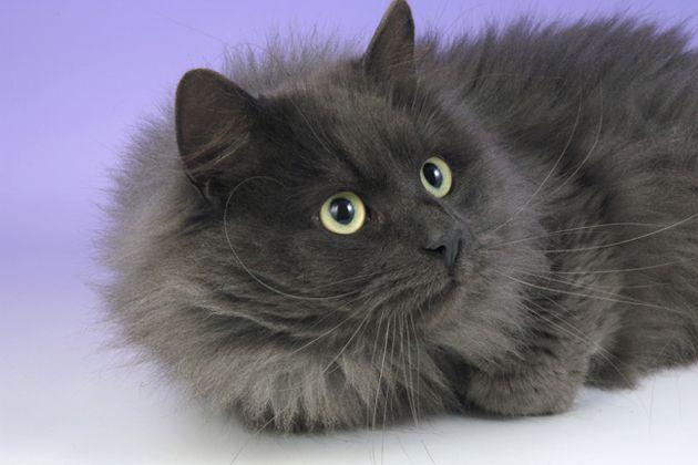 Love A Chatty Cat Meet Nine Talkative Cat Breeds Cat Breeds Siberian Cat Angora Cats