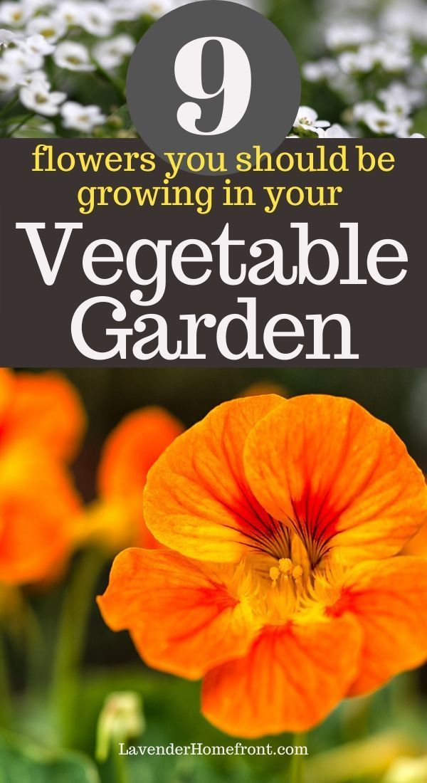 Learn companion planting with these 9 great flowers that are perfect companions for vegetables! Grow a healthier vegetable garden this season. #vegetablegarden #companionplanting #gardeningtips #gardenplanting