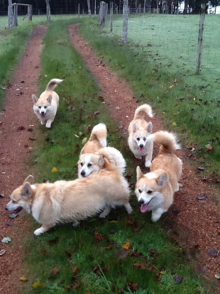 Corgis Are Born With These Beautiful Tails But Tradition From Their Origin In Wales Has Them Cropped At A Really Young Age If Done Corgi Dog Corgi Corgi Tail
