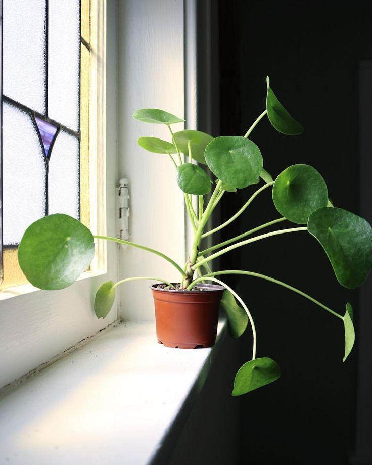 Pilea Peperomioides Clever Bloom BLUMEN Pinterest Plantas - decoracion de interiores con plantas
