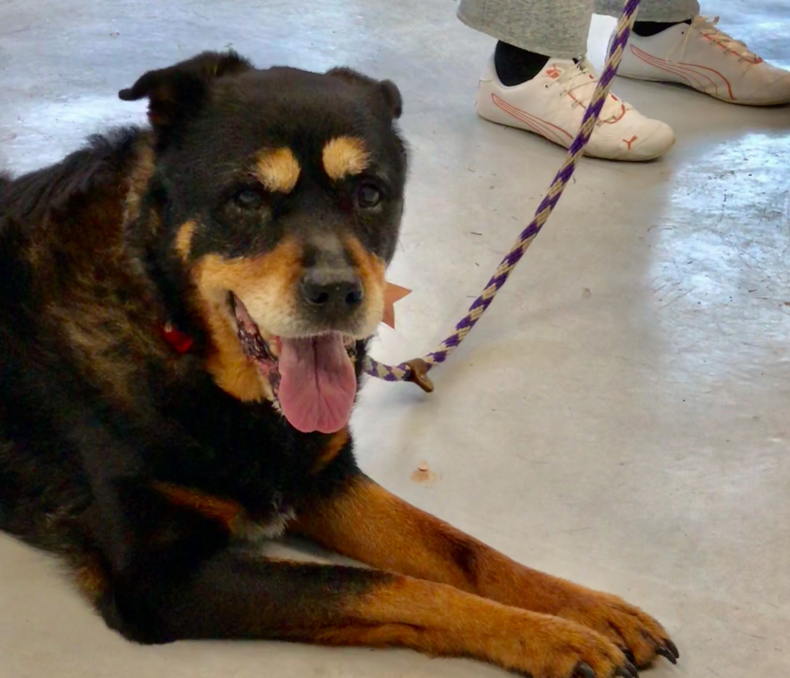 Rottweiler Puppies For Adoption In Ny References